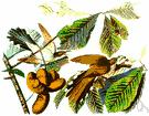 Coccyzus - a genus of Cuculidae