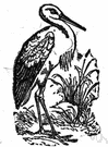 Ciconia ciconia - the common stork of Europe