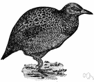 Wood hen - flightless New Zealand rail of thievish disposition having short wings each with a spur used in fighting