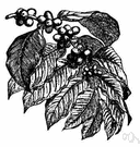 genus Coffea - coffee trees