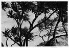 lauhala - Polynesian screw pine