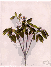 blue cohosh - tall herb of eastern North America and Asia having blue berrylike fruit and a thick knotty rootstock formerly used medicinally