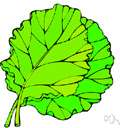 lettuce - any of various plants of the genus Lactuca
