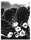 opuntia - large genus of cactuses native to America: prickly pears
