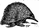 echidna - a burrowing monotreme mammal covered with spines and having a long snout and claws for hunting ants and termites