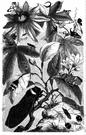 Fulgoridae - plant hoppers: lantern flies