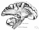 medulla oblongata - lower or hindmost part of the brain