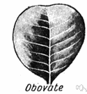obovate leaf - an egg-shaped leaf with the narrower end at the base