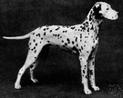 carriage dog - a large breed having a smooth white coat with black or brown spots