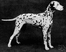 Dalmatian - a large breed having a smooth white coat with black or brown spots