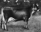 Brown Swiss - large hardy brown breed of dairy cattle from Switzerland