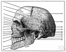 frontal eminence - either prominence of the frontal bone above each orbit