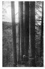 Douglas fir - strong durable timber of a douglas fir