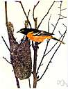 Baltimore bird - eastern subspecies of northern oriole