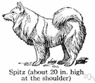 spitz - any of various stocky heavy-coated breeds of dogs native to northern regions having pointed muzzles and erect ears with a curled furry tail