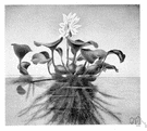 Eichhornia - water hyacinth