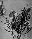 Pimenta acris - West Indian tree