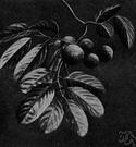 Taraktagenos kurzii - East Indian tree with oily seeds yield chaulmoogra oil used to treat leprosy