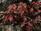 coleus - any of various Old World tropical plants of the genus Coleus having multicolored decorative leaves and spikes of blue flowers