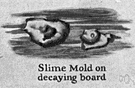 slime mold - a naked mass of protoplasm having characteristics of both plants and animals