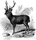Cervus unicolor - a deer of southern Asia with antlers that have three tines