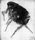 Dog flea - flea that attacks dogs and cats