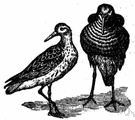 reeve - female ruff