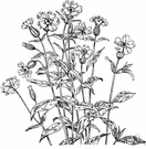 evening lychnis - bluish-green herb having sticky stems and clusters of large evening-opening white flowers with much-inflated calyx