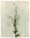 Culver's physic - a tall perennial herb having spikes of small white or purple flowers