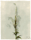 Culvers physic - a tall perennial herb having spikes of small white or purple flowers