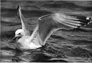 Larus - type genus of the Laridae