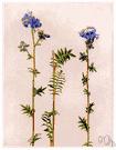 polemonium - any plant of the genus Polemonium
