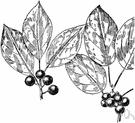 buckthorn - a shrub or shrubby tree of the genus Rhamnus