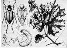 genus Macrodactylus - a genus of Melolonthidae