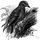 Picumnus - a genus of Picidae