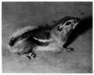 antelope squirrel - small ground squirrel of western United States