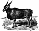common eland - dark fawn-colored eland of southern and eastern Africa