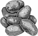 potato - an edible tuber native to South America