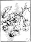 Prunus avium - large Eurasian tree producing small dark bitter fruit in the wild but edible sweet fruit under cultivation
