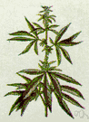 Cannabis sativa - a strong-smelling plant from whose dried leaves a number of euphoriant and hallucinogenic drugs are prepared