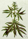 ganja - a strong-smelling plant from whose dried leaves a number of euphoriant and hallucinogenic drugs are prepared