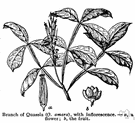 quassia - a bitter compound used as an insecticide and tonic and vermifuge