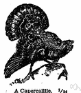 capercaillie - large black Old World grouse
