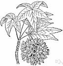 Liquidambar styraciflua - a North American tree of the genus Liquidambar having prickly spherical fruit clusters and fragrant sap