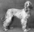 Afghan hound - tall graceful breed of hound with a long silky coat