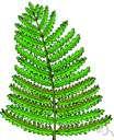 Polystichum scopulinum - North American fern