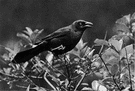 Purple grackle - eastern United States grackle