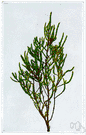 glasswort - fleshy maritime plant having fleshy stems with rudimentary scalelike leaves and small spikes of minute flowers