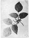 Chinese lacquer tree - small Asiatic tree yielding a toxic exudate from which lacquer is obtained