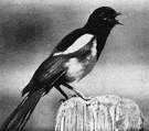 Pica pica hudsonia - a magpie of Rocky Mountains in North America